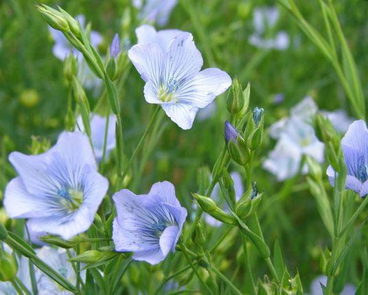 Flax plant flowering